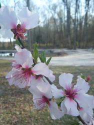 Almond Blossom 1 by keiji-sakamura