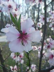 Almond flower in bloom by keiji-sakamura