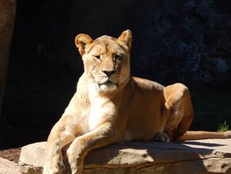 Lioness by keiji-sakamura