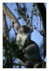 Happy Sunbath for a Koala