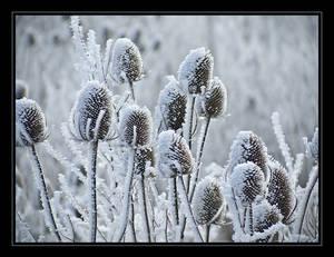 Frozen thistle
