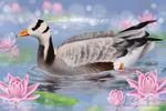 Bar-headed goose among the lilies