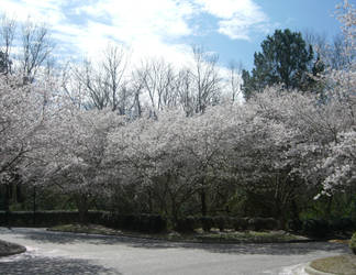 NC Cherry Trees by DavisJes