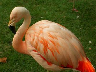 Flamingo by DavisJes
