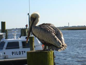 Pelican 1 by DavisJes