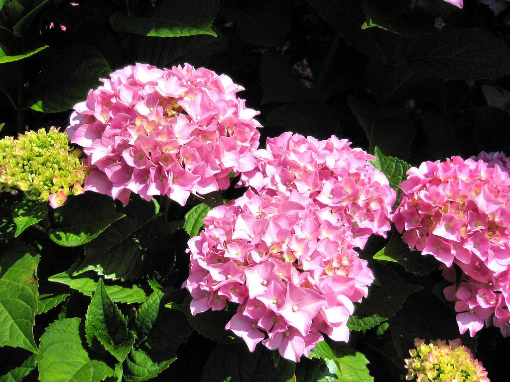 Beautifull hydrangea by pisy