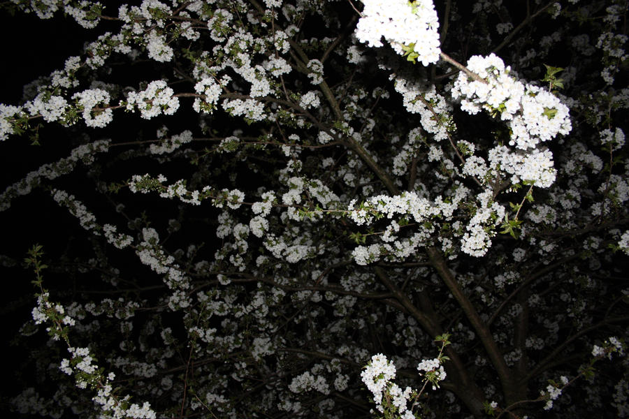 white blossom by michell-e