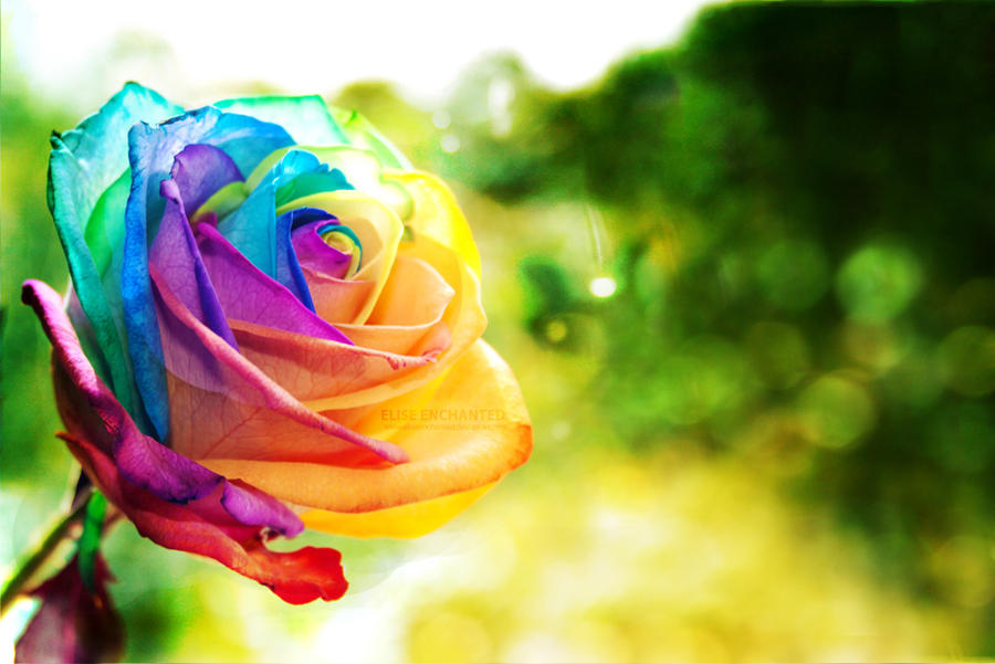 ma wallpapers rainbow rose wallpaper by eliseenchanted