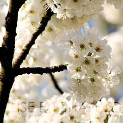 White blossom by EliseEnchanted