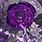 Spirit rose