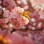 Pink blur
