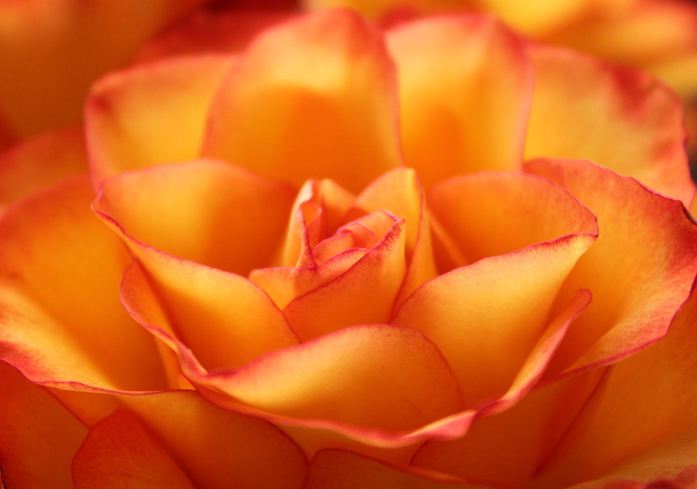 rose IV by glaerkasterin