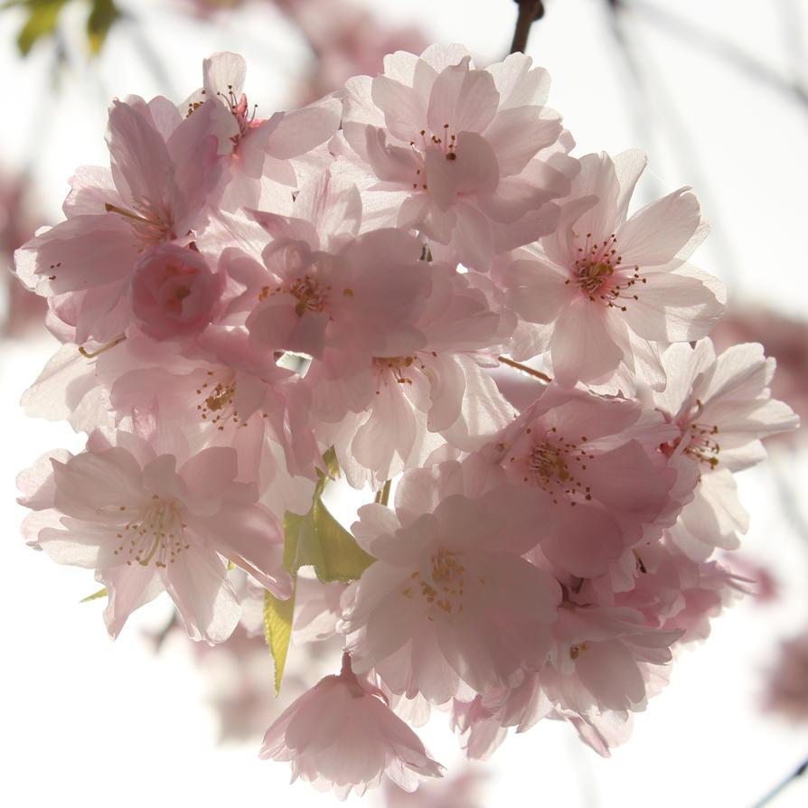 sakura by glaerkasterin