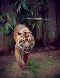 Tiger by JeanFan