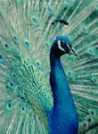Peacock Blue by JeanFan