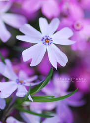 Periwinkle Purple by JeanFan