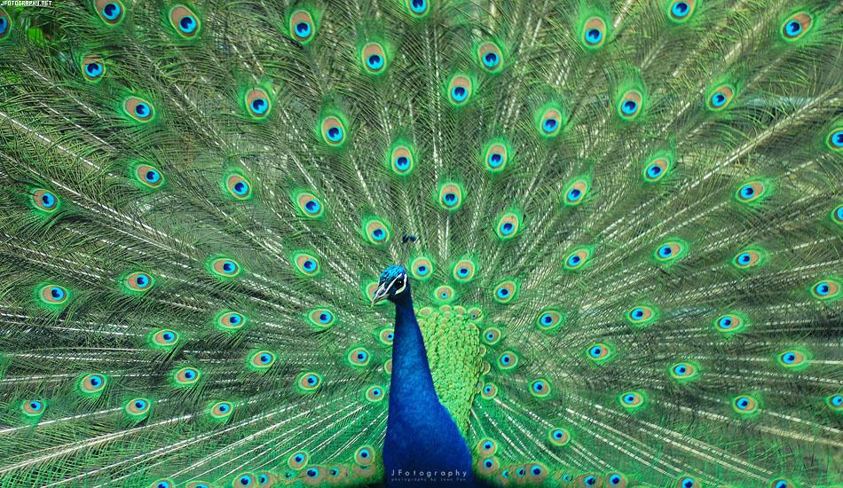 Peacock by JeanFan