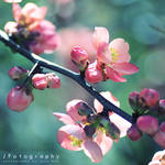 Quince by JeanFan