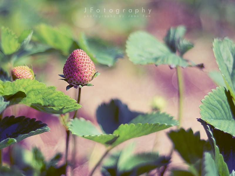 Strawberry Picking Season by JeanFan