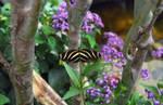 Zebra longwing butterfly by greyrowan