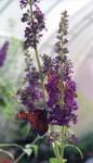 Queen milkweed butterfly 2 by greyrowan