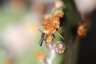 Small carpenter bee on prickly pear 1 by greyrowan