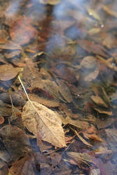 Leaves in puddle 1 by greyrowan