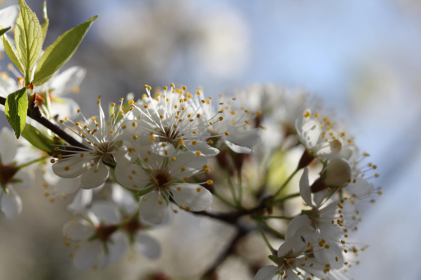 White flowers on unknown tree 4 by greyrowan on DeviantArt