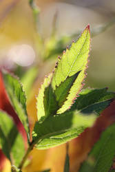 Backlit green leaves 1 by greyrowan