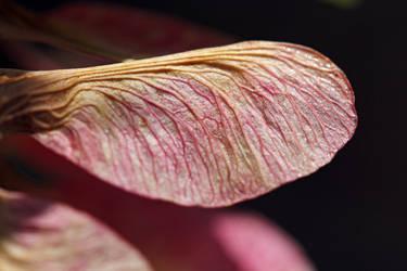 Maple seed 1 by greyrowan