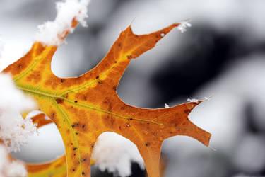 Maple leaf in snow 1 by greyrowan