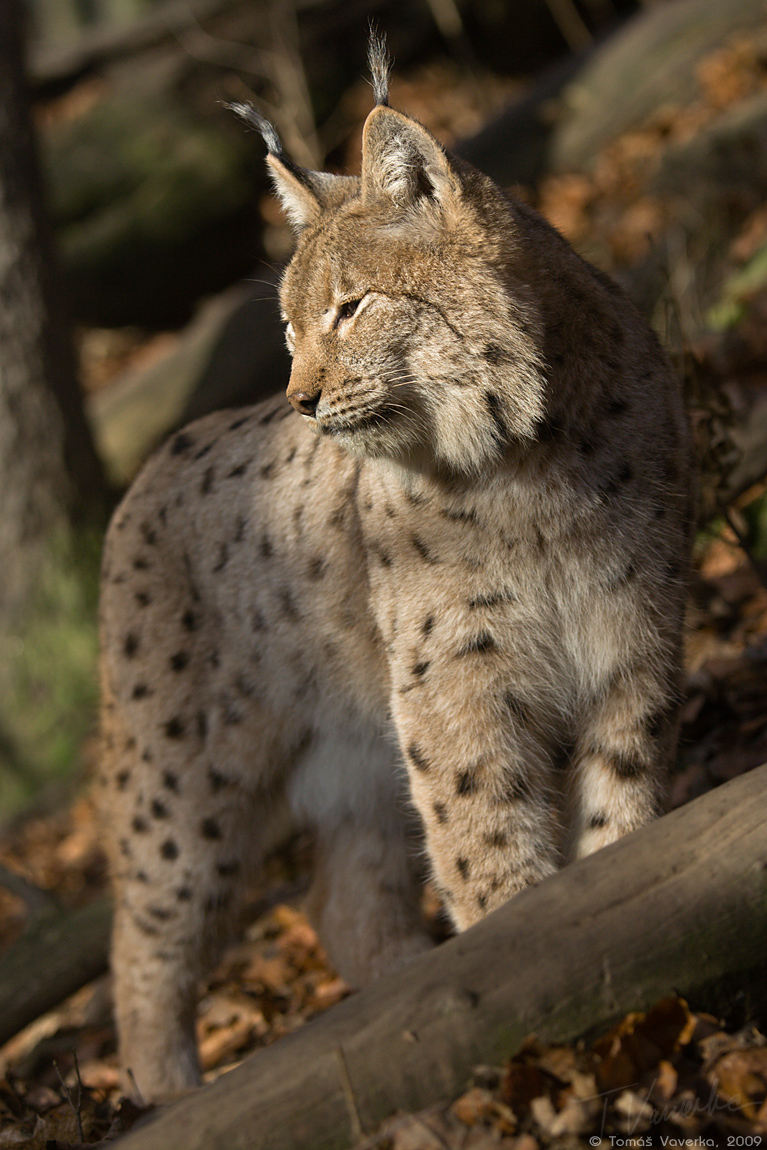 Lynx by vetchyKocour