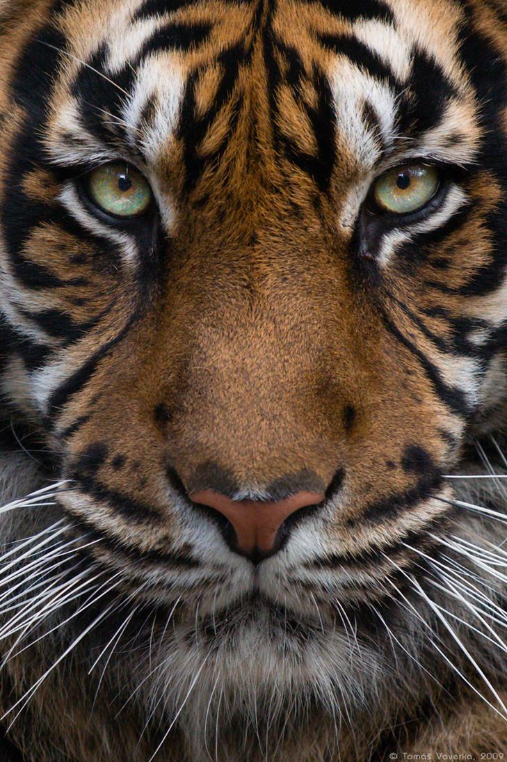 8k Animal Wallpaper Download: Sumatran Tiger #01 By VetchyKocour On DeviantArt