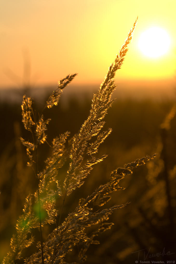 nature sunset grass dandelion - photo #48