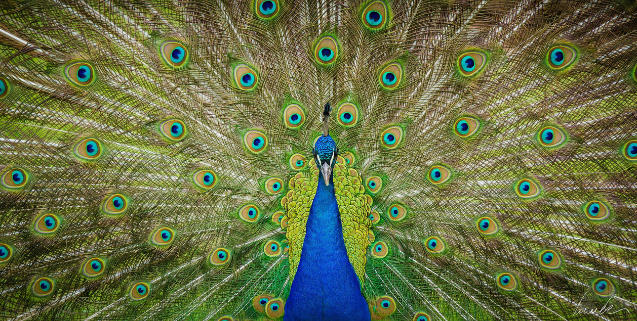 Blue Peafowl by vetchyKocour