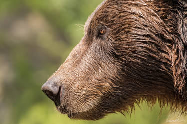 Kamchatka brown bear by vetchyKocour