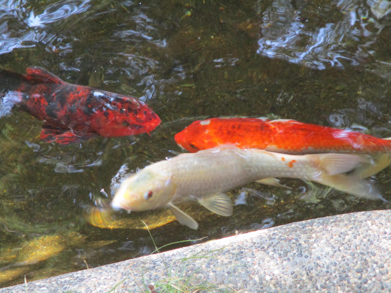 koi fish swimming in their pond by kylgrv on deviantart