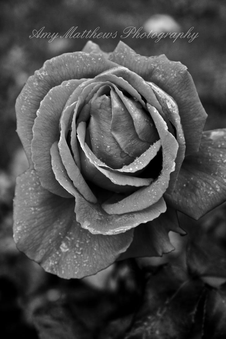 Updated- Black and White Rose by Amylnm