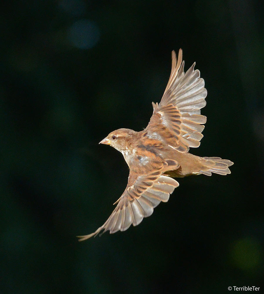 Weaver Finch in Flight 2 by TerribleTer