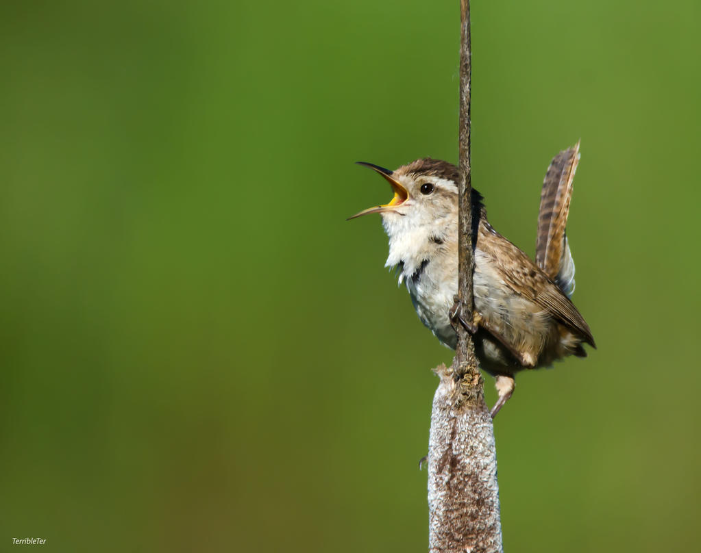 Tiny Trumpeter by TerribleTer