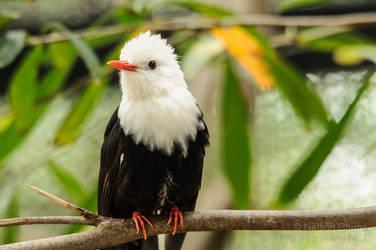 Cute!!!!Young Bulbul Bird,,,photo by nelson chung by sosochan1314