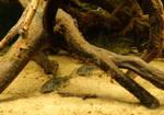 More Corydoras
