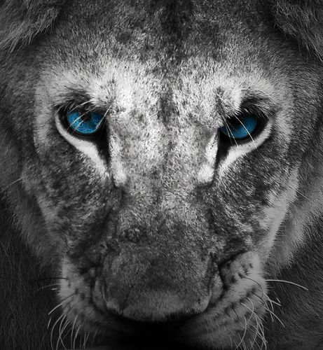 blue eyes lion by alfaiv on deviantart