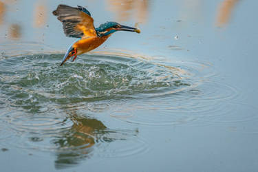 Kingfisher I.