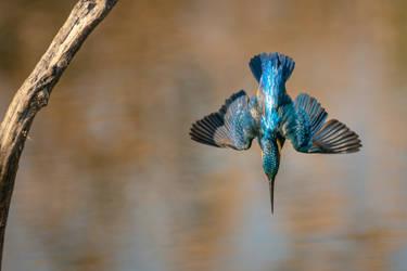 Kingfisher II.