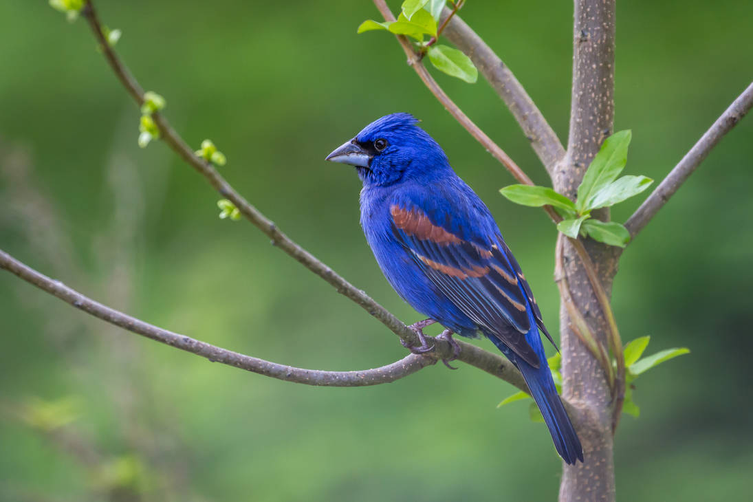 Blue Grosbeak by Earth-Divine