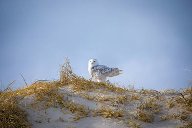 Snowy Owl 2 by Earth-Divine