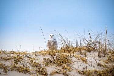 Snowy Owl 3 by Earth-Divine