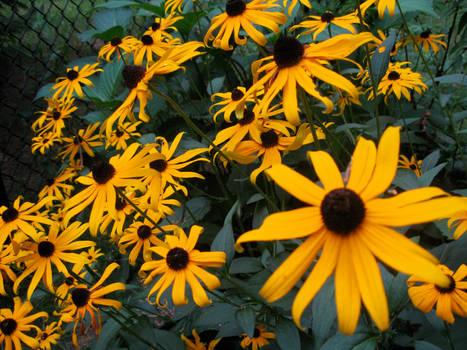 Sunflower posse