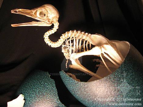 Emu Hatchling Skeleton